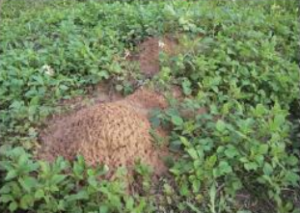 ヒアリの巣